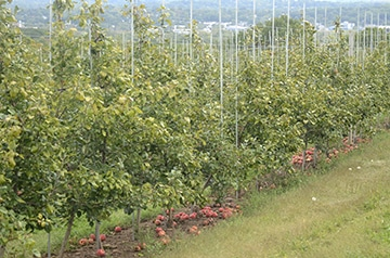 high density apple trees