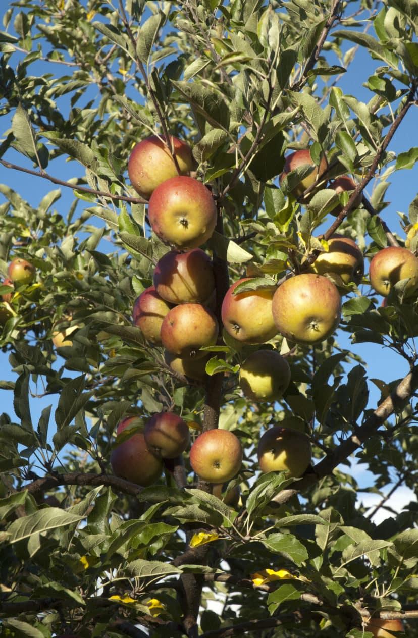 Apples - Heirloom